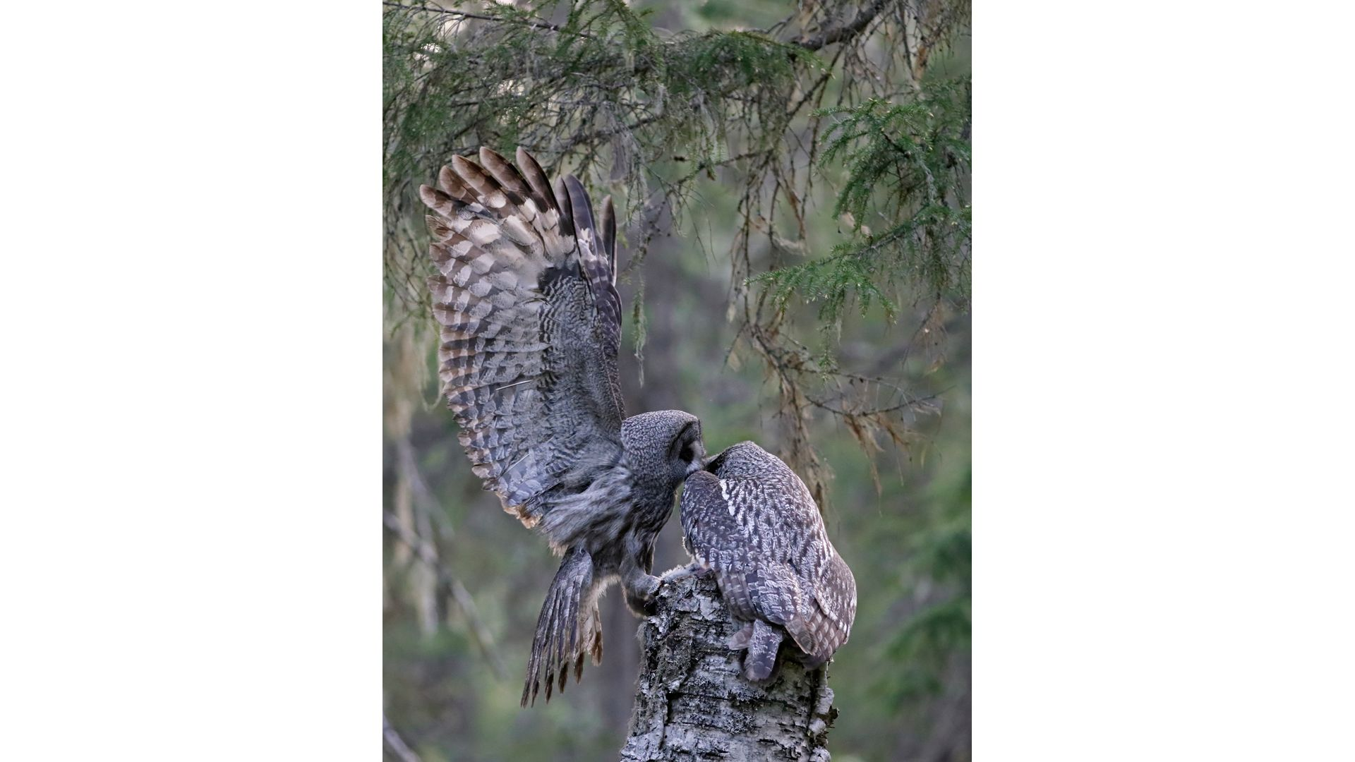 Canon EOS 90D - Markus Veresvuo - Great Grey Owl